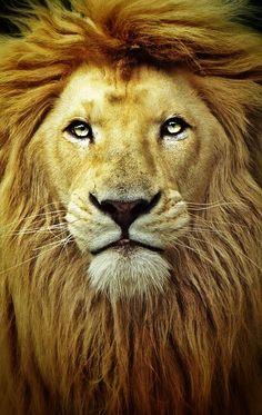 Leão da tribo de Judá <3