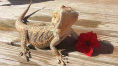 Taming a bearded dragon in 3 simple steps