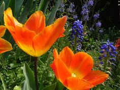 Oranje boven..... mooi in combinatie met blauw! In de tuin van Huis Bingerden in #Angerlo (gemeente #Zevenaar) op #Koningsdag. Zaterdag 26 april 2014. Via twitter @HuisBingerden.