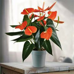 Flamingo plant Anthurium Prince of Orange - 1 plant