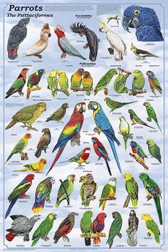 Birds of Paradise Sanctuary & Rescue: Parrot Species Index