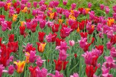 Annual Tulip Festival, Ottawa  (Every May)