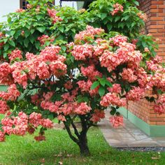 Mussaenda rosa Flowering Shrubs, Trees And Shrubs, Trees To Plant, Gardening Zones, Container Gardening, Tropical Garden, Tropical Plants, Identify Plant, Flower Arrangements Simple