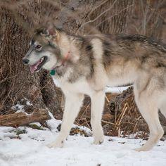 Alaskan Noble Companion Dog - Na'vi