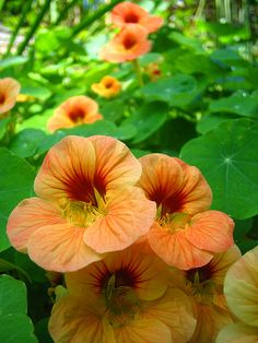 nasturiums - edible, good for repelling plant-eating bugs, and a desire to climb everywhere and conquer the garden.