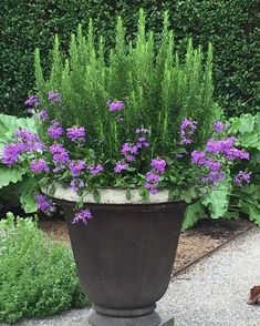 Spring Garden Pots and Planters Outdoor potted plants. Love this rosemary and verbenaOutdoor potted plants. Love this rosemary and verbena Container Herb Garden, Container Gardening Vegetables, Container Flowers, Container Plants, Garden Planters, Balcony Gardening, Potted Garden, Plant Containers, Vegetable Gardening