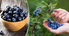 Bären kommer på fjolårsskotten. Då kan du faktiskt ta sticklingar och utöka din blåbärsodling. Perfekt för kommande blåbärspajer!