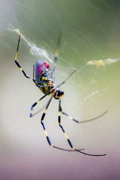 Silk Spider....now THIS makes me feel a whole lot better (after posting those 'Tarantulas'!!!