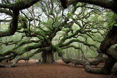 Angel Oak Tree | Angel oak tree Charleston South Carolina .