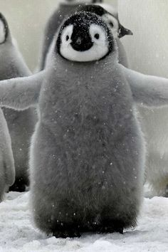 I want to hug this little fluffy penguin :)