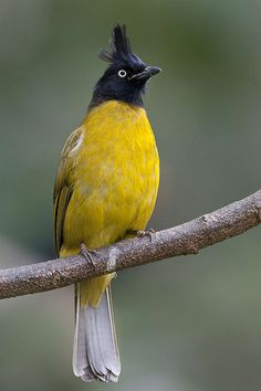 _50K8210ca2 | Black-crested Yellow Bulbul 黑冠黄鹎 | Kong K S | Flickr