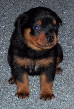 colorful pictures of rotties | ROTTWEILER