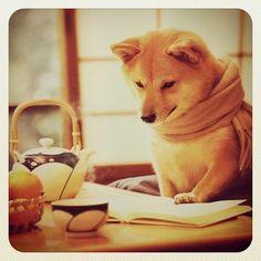 書見する柴犬 Shiba Inu reading a book