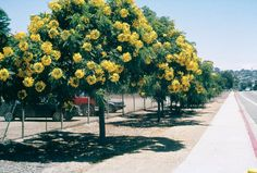 Gold medallion tree (Cassia leptophylla). These grow all around perimeter of Echo Park Lake. Excellent street tree. Native to Brazil. Evergreen foliage but does drop long (1') seed pods. max ht 15-25 feet. Low water needs.