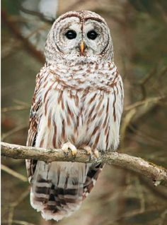 how to find a barred owl nest