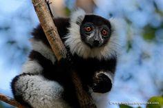 Black-and-white ruffed lemur - Madagascar | da My Planet Experience