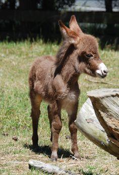 Clovercrest Miniature Donkey Stud
