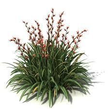 flax, new zealand - Google Search