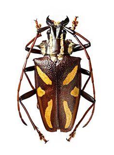 Poecilopyrodes pictus P