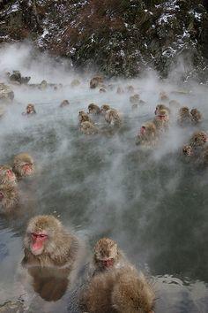 Hot Springs Monkeys . Japan