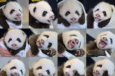 This combo photo shows newly-born giant panda twin... | Photo To Art Guy