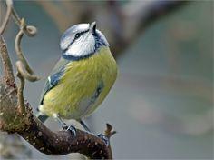 Staff Picks - Pixdaus Blue Tit by Manfred Schröder By: B. All Birds, Love Birds, Beautiful Birds, Beautiful People, Blue Tit, All Gods Creatures, Colorful Birds, Bird Watching, Beautiful Creatures