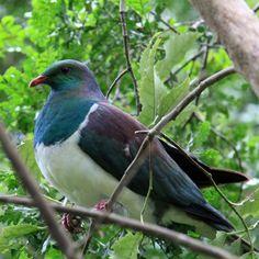 Beautiful big wood pidgeon from New Zealand..........