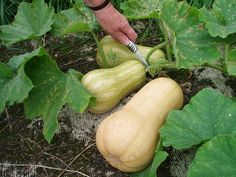 HOW TO GROW BUTTERNUT SQUASH