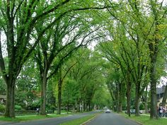 longest arch of elm trees in US; Westmont Borough, Johnstown, PA  best place to grow up.