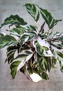 Calathea 'Fusion White' 2014 a showy plant with variegated marbled white/green color on the surface of the leaves and light purple color on the under leaves