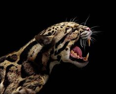 Clouded Leopard – Pin's Page Beautiful Cats, Animals Beautiful, Beautiful Pictures, Big Cats, Cool Cats, Gatos Cat, Clouded Leopard, Japanese Drawings, Dog Signs