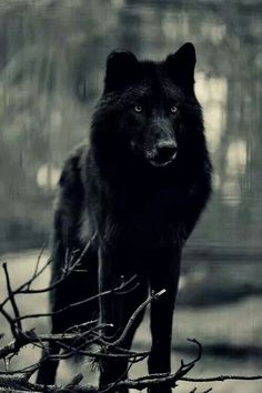 black wolf with blue eyes - Pesquisa Google
