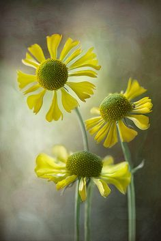 Sneezeweed - helium autumnale by Mandy Disher Florals, via Flickr ON native plant