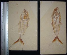 Halec 03: Matrix 20X10cm ,fish 16cm , Price: 650$ Ancient Fish, Fish Fossil, Dinosaurs, Insects, Paleo, Projects, Animals, Sailors, Pisces