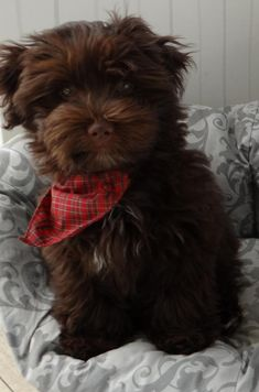 Chocolate Havanese