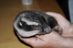 Badgers are short-legged omnivores in the family Mustelidae which also includes the otters, polecats, weasels and wolverines. The 11 species of badger are grouped in three subfamilies: Melinae (9 Eurasian badgers), Mellivorinae (the honey badger or ratel) and Taxideinae (the American badger).