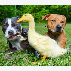 The Moment This Pit Bull Set Eyes On These Orphaned Ducklings, He Instan. Unusual Animal Friendships, Unlikely Animal Friends, Unusual Animals, Cute Funny Animals, Funny Animal Pictures, Pato Animal, Duckling Care, Baby Ducks, Dog Love