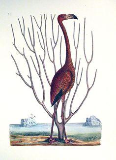 Love this Mark Catesby flamingo print!!
