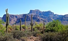Saguaros in the foothills