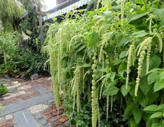 Love Lies Bleeding (Amaranthus Caudatus Green) - Another great choice in Amaranthus seeds! Most people are familiar with red Amaranthus Love-Lies-Bleeding flowers, but this unusual green-flowered variety is also an heirloom that is catching on fast! It grows easily from flower seed and makes a striking addition to any flower garden. All summer long (and sometimes even into fall!) your garden will be filled with lime-green blooms on weeping stems up to 2 feet long! The prostrate 18-24 inch…