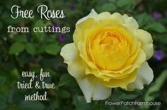 super easy rooting of roses from cuttings, flowers, gardening, how to