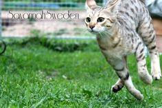 Savannah katt