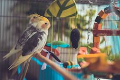 Are you wondering how many perches you should get for your Cockatiel cage? This article will give you the answer! Cute Birds, Small Birds, Cockatiel Care, Amazon Birds, Bird Facts, Common Birds, Parrot Toys, Bird Wings, Trim Nails