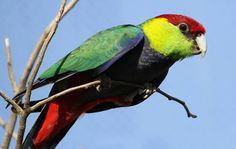 The Red-capped Parrot (Purpureicephalus spurius)  is an Australian species of broad-tailed parrot related to the Rosellas (by Claire Hamilton).