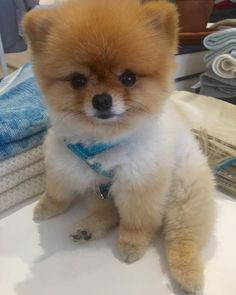 Sorry but this is as cute as I can be  #worldscutestpomeranian #prettypomeranian #pomeraniansofinstagram #cachorros #quelinda #spitzalemao #malcriada #spitzlovers #teacupdogs  by thedailypippa  http://bit.ly/teacupdogshq