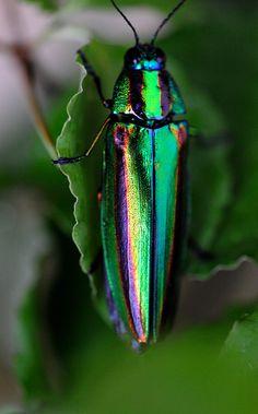 jewel beetle (male)