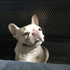 """""""Mummie please share your breakfast, k ,thanks, love you  adorable French Bulldog"""