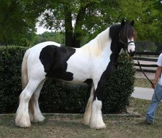Gypsy Vanner horses for work and other.