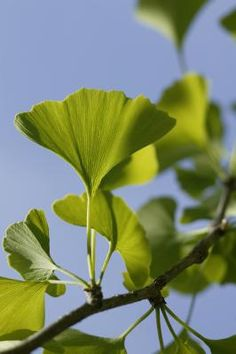 Ginkgo biloba, also known as the maidenhair tree, makes an interesting addition to an ornamental garden. Fossil records show the ginkgo tree was widespread more than 150 million years ago, although ...