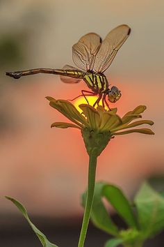 Sunset dragonfly - by iwan pruvic